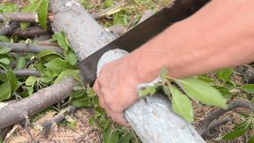 Man sawing old tree, speed up. Man using hand saw to cut the old tree for firewood, speed up shot stock video footage