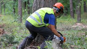 Man sawing wood using chainsaw. Man sawing wood with chainsaw. A forestman is slicing out a smaller piece of wood from a tree in order to be able to cut down a stock video