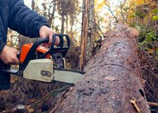 Man saws a chainsaw thick log in the forest stock photo