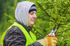 Man with scissors near spruce branches in forest Stock Image