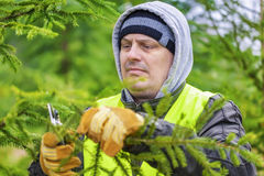 Man with scissors pruned spruce branches in forest Stock Images