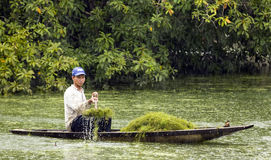 Man Scooping Moss from Pond Stock Image