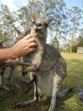 Man scratching kangaroo Royalty Free Stock Photos