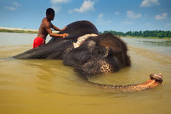 Man Scrubbs Asian Elephant Laying in Nepal River Royalty Free Stock Photography