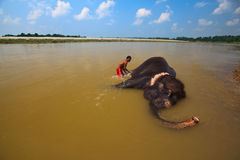 Man Scrubbs Asian Elephant Laying in Nepal River Stock Photo