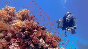 Man scuba diver admiring beautiful colorful tropical coral reef stock photography