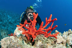 Man scuba diver and red coral Stock Photography