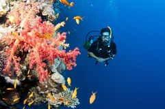 Man scuba diver and red coral Royalty Free Stock Photos
