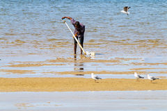 Man and Seagulls Searching for Mud Prawns in Harbor Stock Images