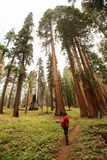 Man in Sequoia national park in California, USA.  royalty free stock photo