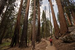 Man in Sequoia national park in California, USA.  royalty free stock photos