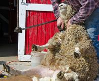 Man shearing a sheep Stock Photography