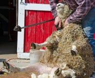 Man shearing a sheep. Sheep shearer shearing a sheep by bright red barn Stock Photography
