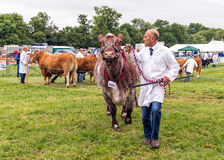 Man showing a Bull at the Hanbury Countryside Show. Man parading a bull around the showring at the annual Hanbury Countrywide Show in Worcestershire, England Stock Images