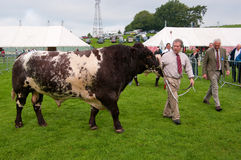 Man showing a Bull at Westmorland Show 2010 Royalty Free Stock Photography