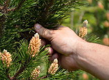 Man showing pine flower Royalty Free Stock Images