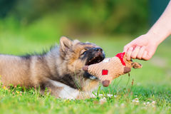 Man shows an elo puppy a soft toy. Outdoor picture of a man` hand that shows an elo puppy a soft toy stock photo