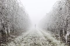 Man silhouette in a fruit trees field covered by ice during the winter on Lleida Spain. Morning frost on fruit trees. Cold morning on winter in a rural stock photography