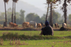 A man  sitting in a field with his a group of cow. Royalty Free Stock Images