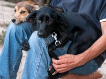 man sittting with two adorable dogs snuggling up to knees stock image