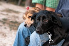 Man with two adorable dogs snuggling up to knees royalty free stock photography