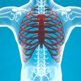Man skeleton ribcage pain breathing Royalty Free Stock Photography