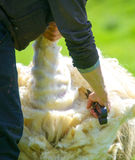 Man skillfully shears wool from a sheep Stock Photography