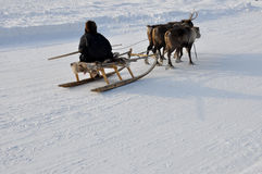 The man are sledging with deers in the snowy field track. The man are sledging with deers in the snowy field track Royalty Free Stock Image