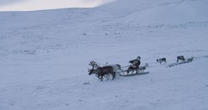 Man on a sleigh have a ride with a group with reindeers in the middle of Arctic amazing video capturing of Siberian life stock video footage