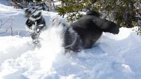A man moves through the deep snow in winter in sunny weather. A man sneaks through the drifts, falls and rises in the deep snow in the forest among the trees stock footage