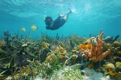 Man snorkeling underwater looks reef fish. Over a lush seabed with colorful marine life composed by corals and sponges in the Caribbean sea Stock Images