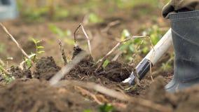 Man som arbetar i trädgård med gaffeln bonden gräver trädgården med högafflar begrepp av sund näring och stock video