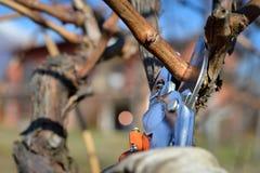 Man som beskär vinrankor i vinter arkivfoto