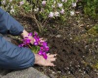 Man som planterar blommor i en rabatt Royaltyfria Bilder