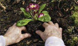Man som planterar primulor i trädgården Arkivfoton