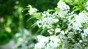 Man som sniffar blommor på ett träd lager videofilmer