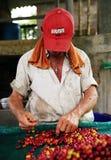 Man som sorterar de skördade frukterna av cofeeträdet, innan att torka Kaffekolonier i Quindio - Buena Vista royaltyfria foton