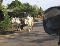 Man som transporteras av två kor i Malindi Arkivbild