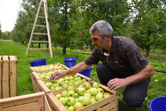 Man sorteringäpplen i fruktträdgården i Resen, Makedonien arkivfoto