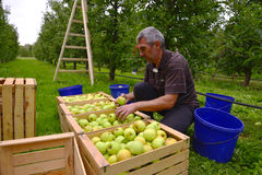 Man sorting apples in the orchard in Resen, Macedonia stock images
