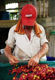 Man sorting the harvested fruits of the cofee tree before drying. Coffee plantations in Quindio - Buenavista. The cherry is the name usually given to the fruit royalty free stock photos