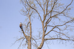 Man with special equipment pruning oak Royalty Free Stock Photo