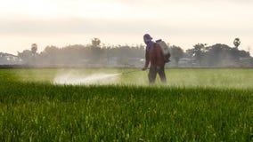 Man spraying in rice. Royalty Free Stock Image