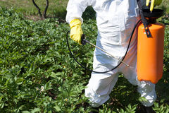 Man spraying toxic pesticides or insecticides in vegetable garden. Pesticide spraying. Non organic vegetables Stock Photo