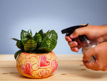 Man sprays flowers in colorful pot on wooden table Royalty Free Stock Photos