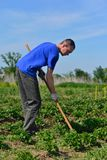 Man spud potatoes. The man in the garden with hoe handles potatoes stock photography