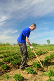 Man spud potatoes. The man in the garden with hoe handles potatoes stock image