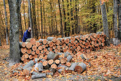 Man Stacking Wood in Autumn. A man is stacking wood that has been cut in the forest during Autumn Stock Photos