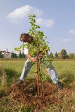 Man staking a new apricot tree