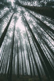 Man standing amid tall trees in forest Royalty Free Stock Photography
